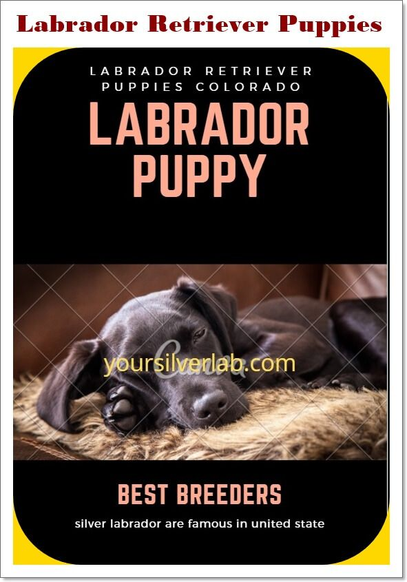 Pin On Silver Lab Puppies
