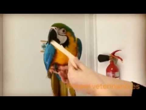 #Guacamayo - YouTube - De entre las muchas mascotas exóticas que nos visitan destaca este guacamayo por la vistosidad de su plumaje. Clinica veterinaria para exóticos. #veterinario