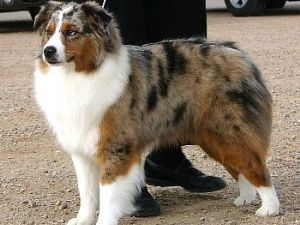 Very unique color. Almost looks like a mix of red Merle and blue Merle.