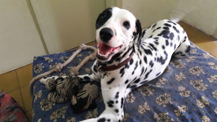 "Cara de ""anjinho"" 😇  #dalmatian #doglover #dogstyle #dalmata #dog #pet"