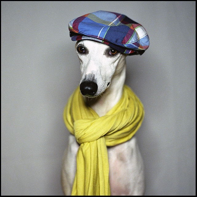 Whippet Dog Rescue Yorkshire