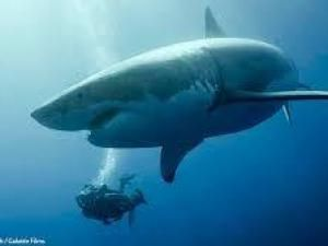 best requin images great white shark sharks  squalophobie squalophobia