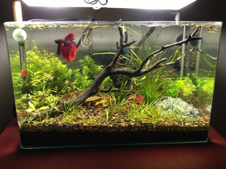 6 gallon low tech betta tank something fishy for Natural fish tank