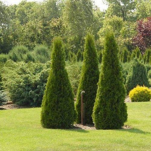 The 25 best arborvitae tree ideas on pinterest privacy for Arborvitae garden designs