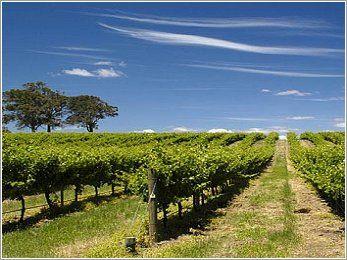 Il Vino Friulano: Collio Bianco