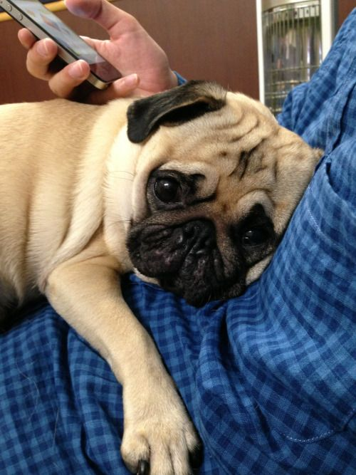Thank goodness for smart phones and tablets - now our laps are free for our pugs!