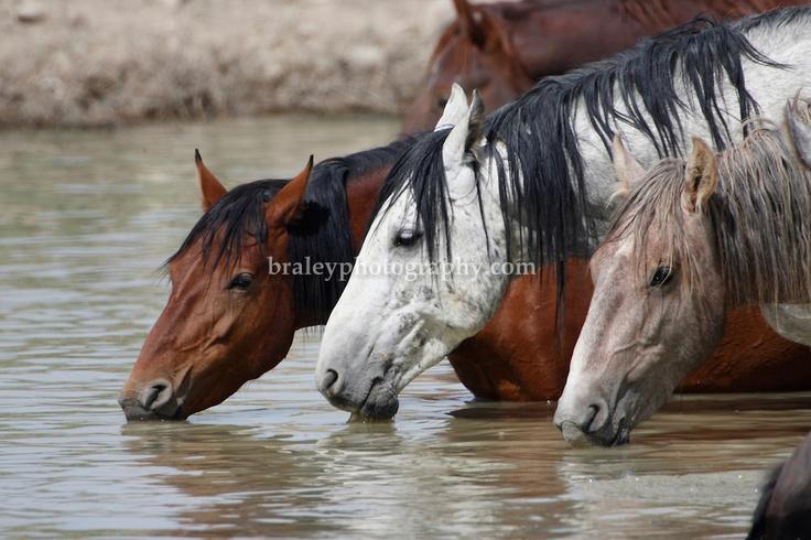 Wild Mustang Horses , Utah | Mustang herd | grey Mustang | bay Mustang |