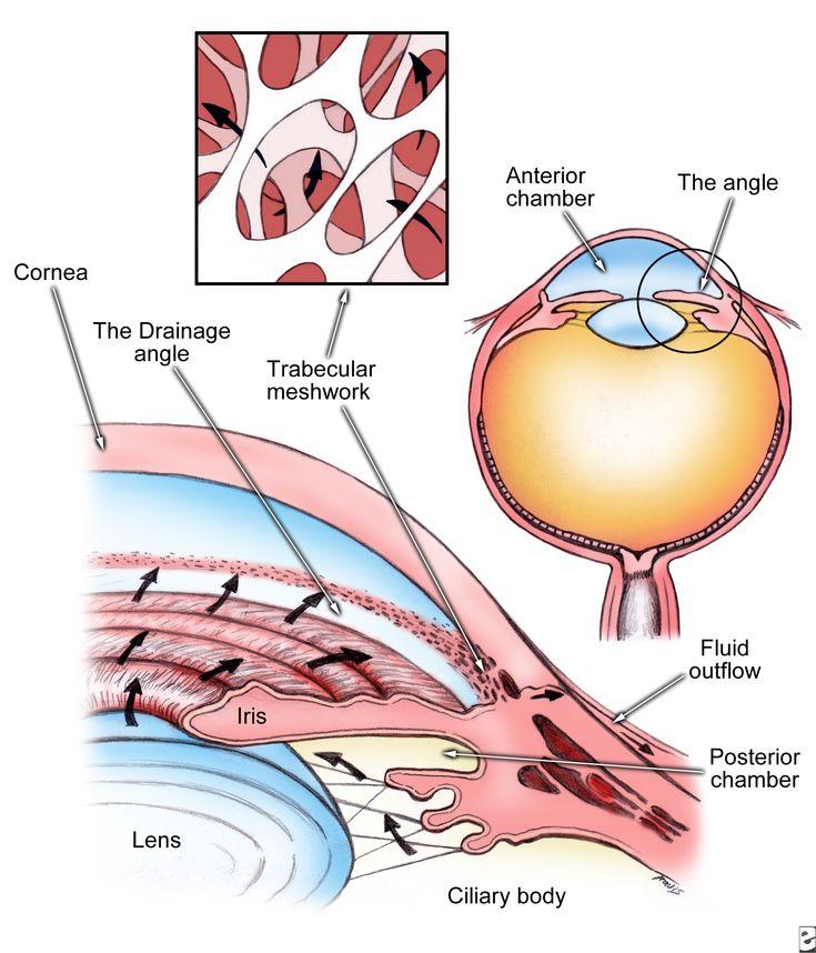 Ocular Anatomy Coloring Book : 81 best nursing eyes images on pinterest