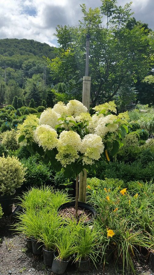 Hydrangea paniculata 'Phantom' Tree form Upright, full tree with huge white flower heads that have a light green coloring in early summer, turning white from July to August, and finally darkening to pink in the Fall.  Strong, stiff stems support these large, very dense  pyramid shaped flowers. Best used in flower borders and beds, low maintenance city & courtyard gardens, Coastal, Cottage,  and Informal gardens.