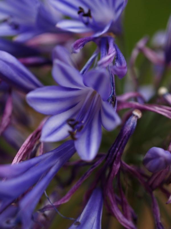 Agapantha blues