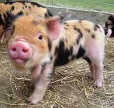 Image result for kune kune pigs
