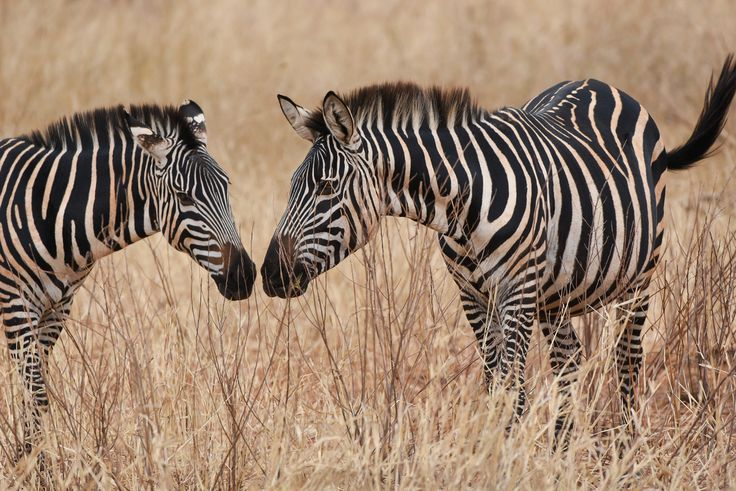 """Zebras Greeting"" by Angela Poggioni: As a group of plains zebras was heading back from the river, I was fortunate to spot this scene where two of them started walking towards each other to the point of having nose-to-nose contact that is considered a form of greeting among adult zebras. I was lucky to catch this beautiful moment just before it happened."