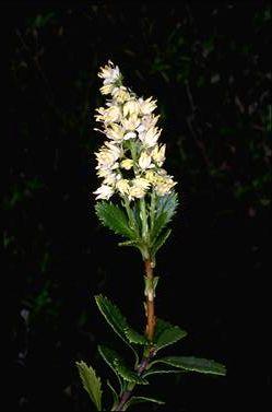 Tetracarpaea tasmanica