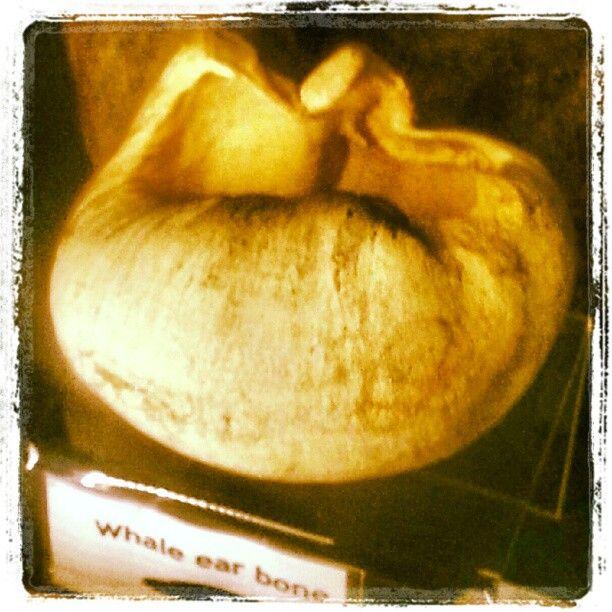 Whale ear bone. Whitby Museum.