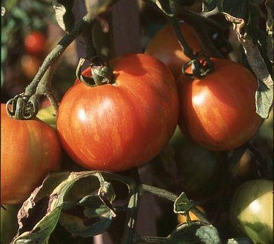 Cool Wer Tomaten selbst anbaut m chte nat rlich dass sie besser schmecken als das was man in den meisten Superm rkten kaufen kann