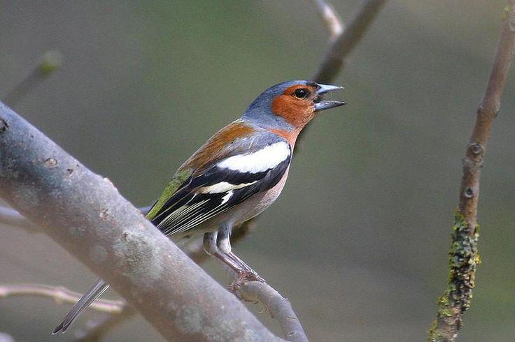 Peippo on peippoihin kuuluva varpuslintu. Se on Suomen toiseksi runsain lintulaji