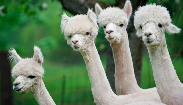 Here Are 12 Shaved Alpacas That Will Change The Way You Look At The World - The Dodo