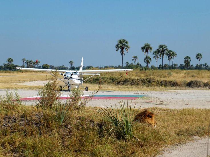 Xigera airstrip - with added male lion! #Okavango #safari
