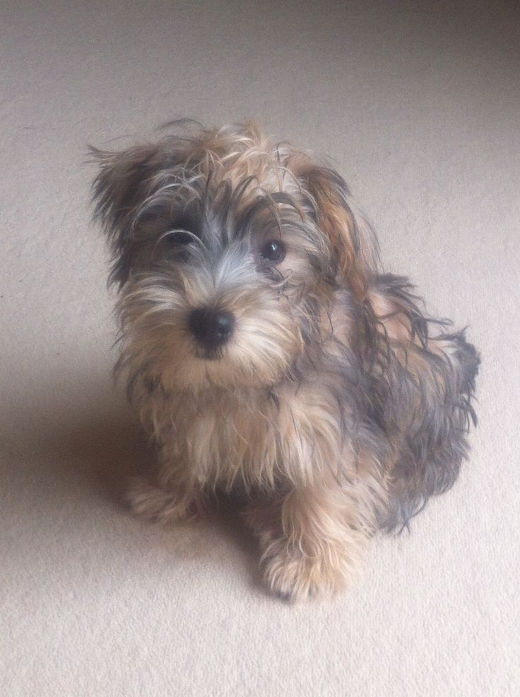 Lucas terrier puppy,,,,,,I want one !!! toooo cute