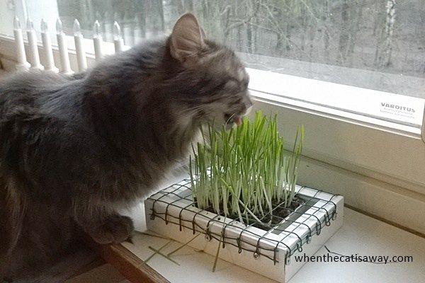 Self Made Cat Grass Dispenser – When the cat is away