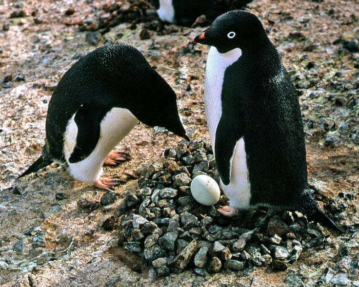 adelie penguins eggs - Google Search