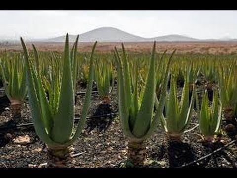 Singularidades del Cultivo de Sabila - Parte II - TvAgro por Juan Gonzalo Angel - YouTube
