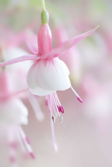fuchsias - I so enjoy these plants, also know as ladies' earrings.  The color on this example is exquisite.