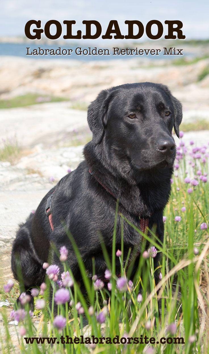 Goldador - Labrador Golden Retriever cross