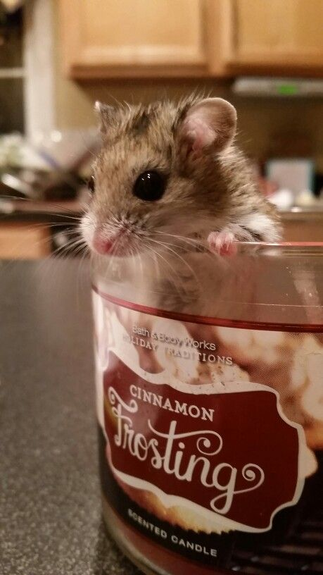 Bagel my Chinese dwarf hamster