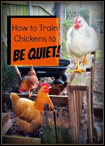 Greneaux Gardens: How to Train Chickens to BE QUIET! If you have a screamer like I do, here is an easy way to keep the volume down. My neighbors will love me :)