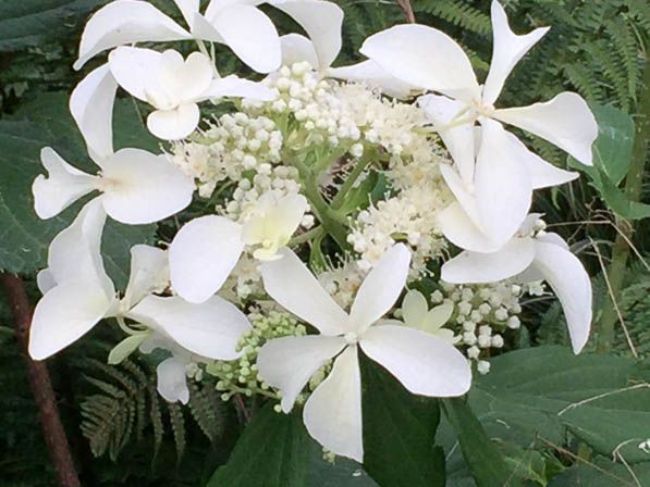 Hydrangea paniculata 'Great Star' http://www.pariscotejardin.fr/2016/07/hydrangea-panicule-great-star/