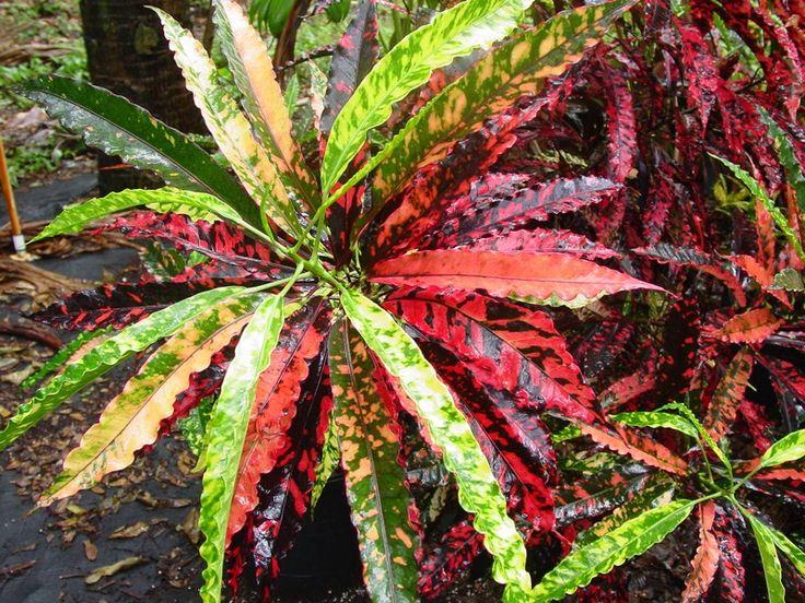 97 besten CROTONS   CODIAEUM Bilder auf Pinterest Pflanzen - tropische pflanzen im garten