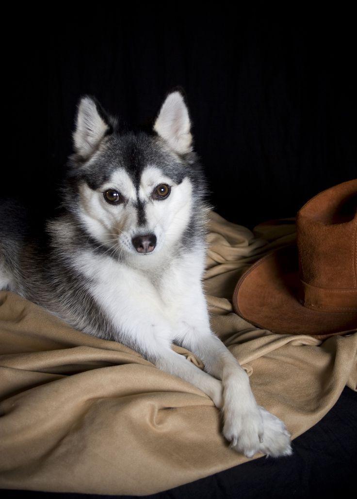 Alaskan Klee Kai Mini Husky Schlittenhund Alaskan Siberian Husky Schlittenhunde Alaskan Klee Kai Klee