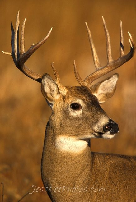 Whitetail Deer Photos