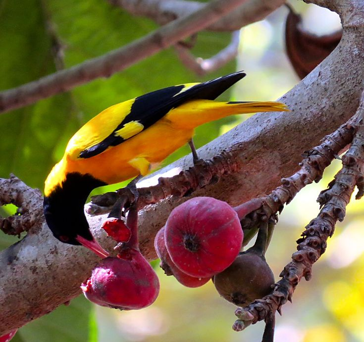 The black-hooded oriole (Oriolus xanthornus) is a member of the oriole family of passerine birds and is a resident breeder in tropical southern Asia from India and Sri Lanka east to Indonesia.