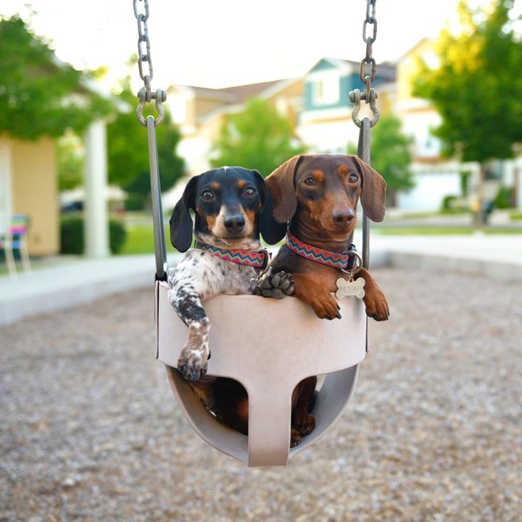 'Just keep swinging. Just keep swinging. Just keep swinging' - Reese & Indiana the Miniature Dachshund Duo playing in the Swing together