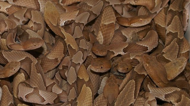 Copperhead snake. This snake is a very common site around ...