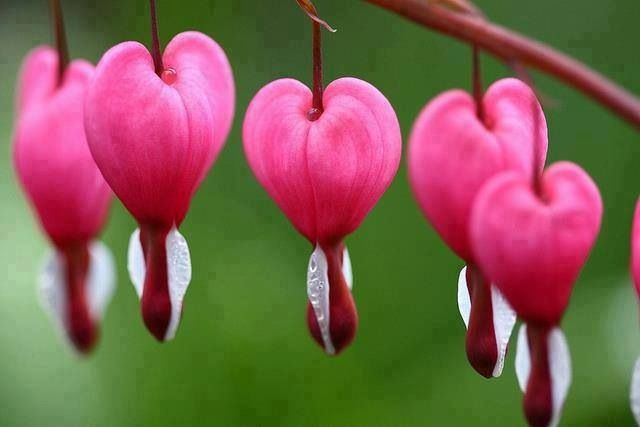 The bleeding heart flowers!!!