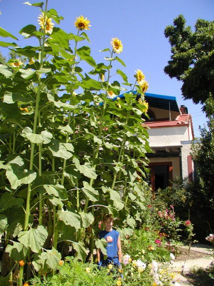 American Giant Sunflower -- up to 16' tall; plant on ends of planting strip?