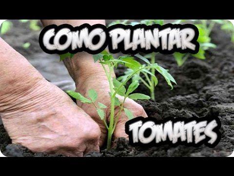 Como Plantar Tomates    Huerto Organico    La Huertina De Toni - YouTube