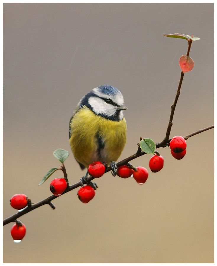 """Blue Tit in the rain"" Geoffrey Baker. are you ready for the #birdwatch?"