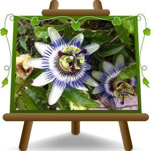 La Passiflora Caerulea è perfetto per un Giardino Tropicale, molto resistente, con dei Fiori Bianchi meravigliosi i quali presentano degli anelli centrali viola e dei filamenti appuntiti blu e bianchi. Questo Fiore della Passione è…