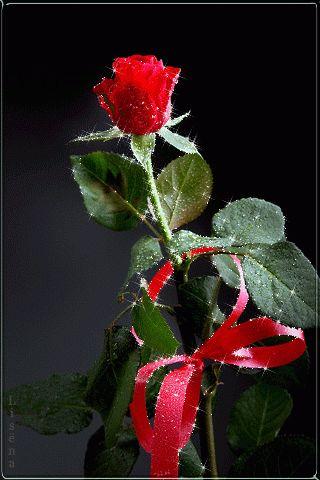 Imagen romántica de rosas rojas de amor con movimiento y brillo rosa con lazo                                                                                                                                                                                 Más