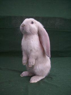 http://patchofheavenenglishlops.weebly.com/baby-rabbits.html