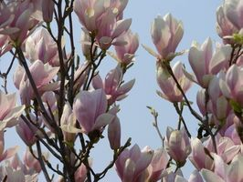 How to Care for a Saucer Magnolia Tree: Landscape Plants, Garden Ideas, Magnolias, Flowering Trees, Flowers Trees Plants, Magnolia Trees