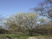 Salix caprea http://www.fidanistanbul.com/urun/1264_salix-capreasilberglanz.html Fidan Satışı, Fide Satışı, internetten Fidan Siparişi, Bodur Aşılı Sertifikalı Meyve Fidanı Süs Bitkileri,Ağaç,Bitki,Çiçek,Çalı,Fide,tohum,toprak