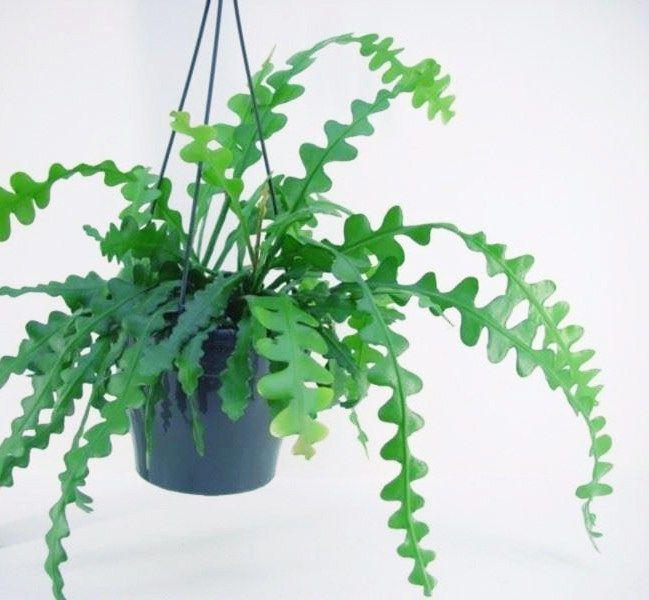 It-Plants Plantes Vertes Originales Fishbone Cactus // Hëllø Blogzine blog deco & lifestyle www.hello-hello.fr #fishbonecactus