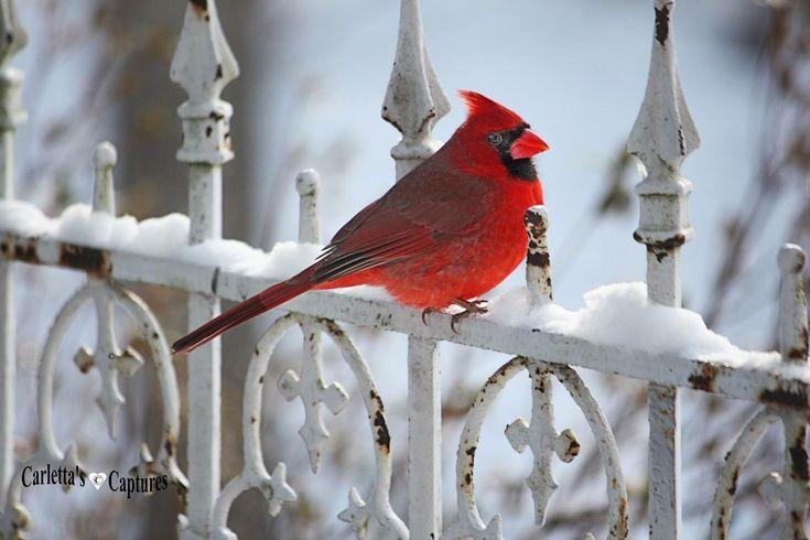 Cardinal, Indiana state bird!