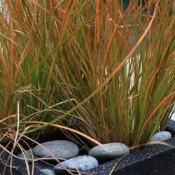 Carex testacea Oranje zegge matig winterhard, dus goed beschermen. 40 70 cm zon- halfschaduw