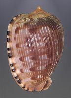 Conchas.......Cypreacassis testiculus senegalica)
